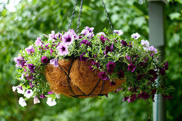 petunia-kashpo