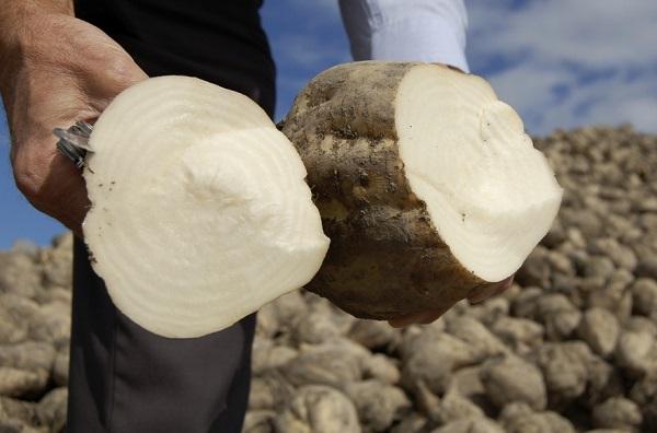Неменее половины урожая сладкой свеклы вБашкирии направлено напереработку