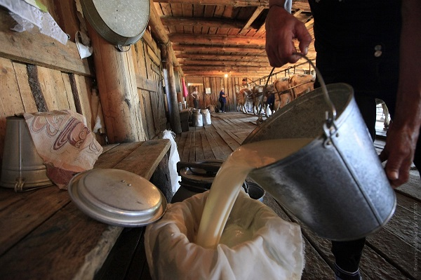 An employee pours milk as cows are milked in the background at the Antsiferovskoye Farm in the village of Antsiferovo, some 415 km (258 miles) north of Russia's Siberian city of Krasnoyarsk, July 24, 2013. About 250 residents of Antsiferovo, mostly employees of the agrarian open joint-stock company Antsiferovovskoye Farm, rear about 500 cows for milk production. To distribute the milk to neighbouring settlements, workers use automobile vehicles and a boat which allows them to bypass impassable road sections. Picture taken July 24, 2013. REUTERS/Ilya Naymushin (RUSSIA - Tags: SOCIETY AGRICULTURE ANIMALS TRANSPORT) - RTX11ZTO