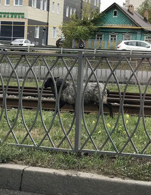 Из-за сбежавшего барана в Казани образовалась автомобильная пробка.