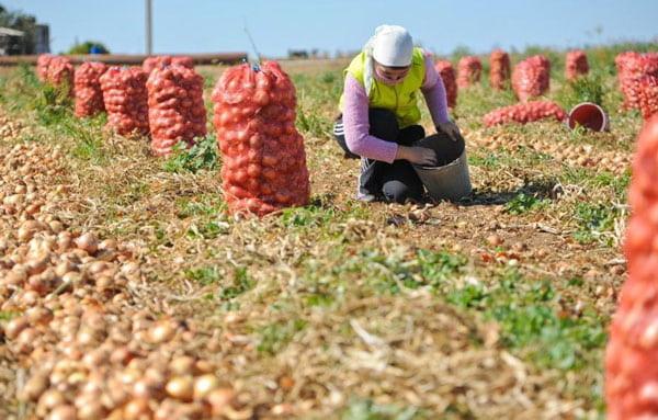 С начала 2018 г. собрано 145 тыс. тонн овощей