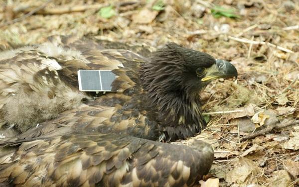 орлан-белохвост-в передатчиком
