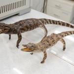 чучела-крокодилов