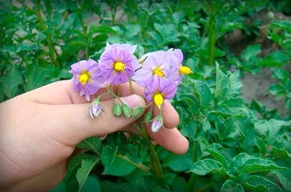 цветы-картошки