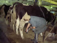 коровы-2