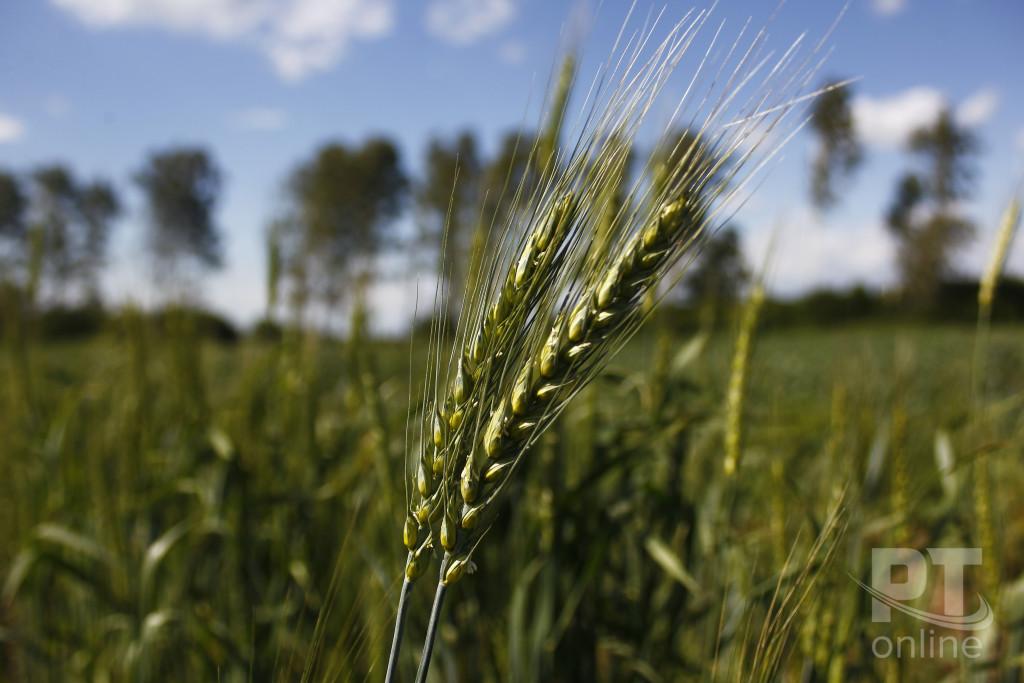 Пшеница или ячмень_A8G0269