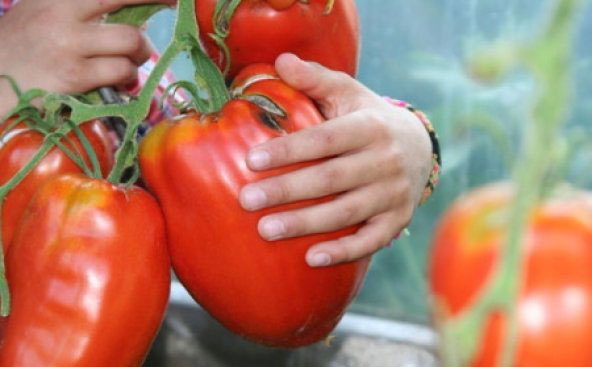 соседские-помидоры