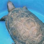 черепаха1