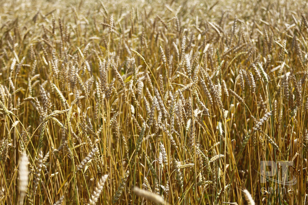 Урожай_пшеница_колосья_A8G2941