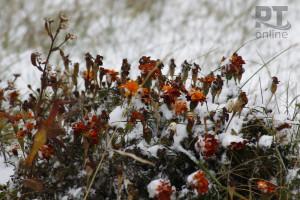 Погода_первый снег на цветах_A8G2870