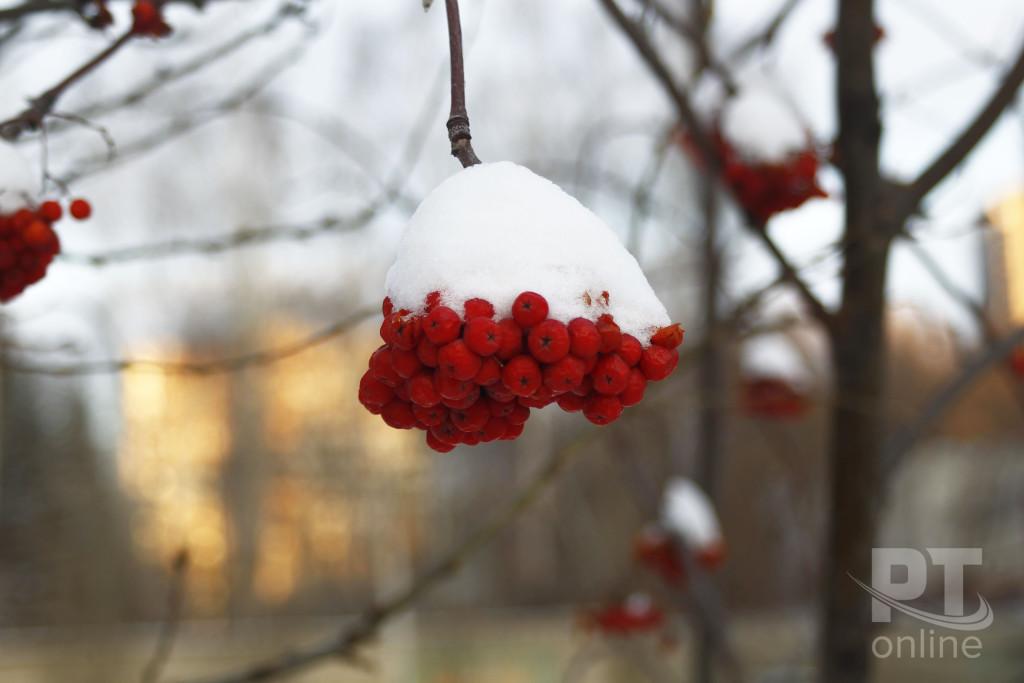 Погода_рябина_снег_A8G4428