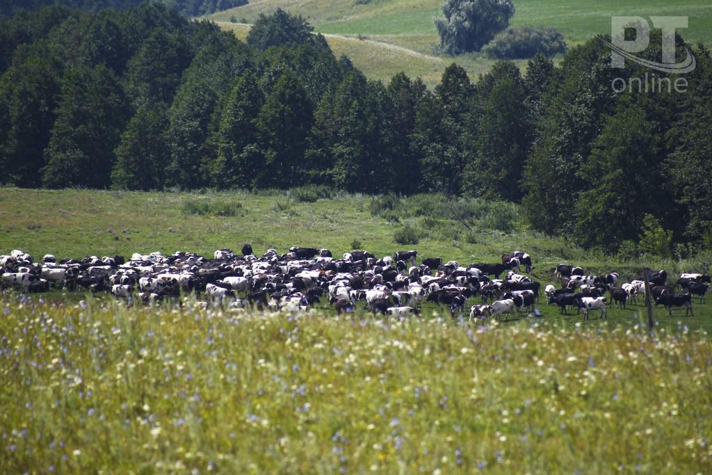 Сельское хозяйство_коровы пасутся_A8G2979