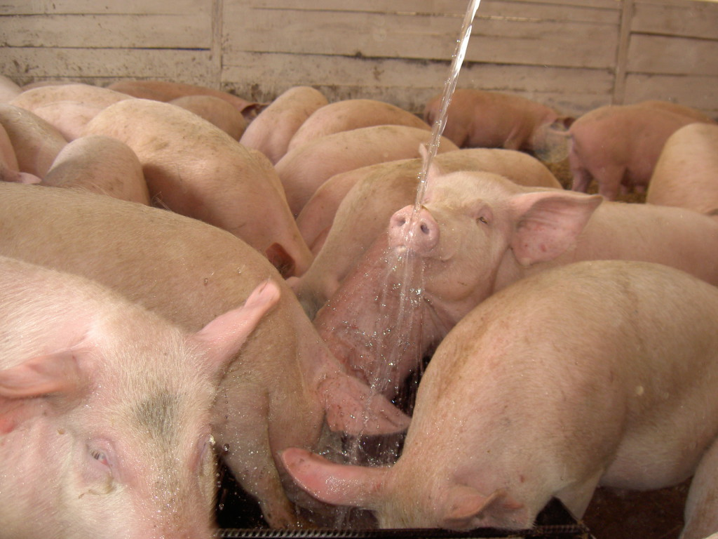 свиньи (8)
