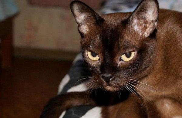 Бурманская-кошка