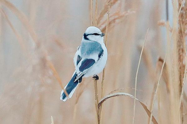 Лазоревка-белая