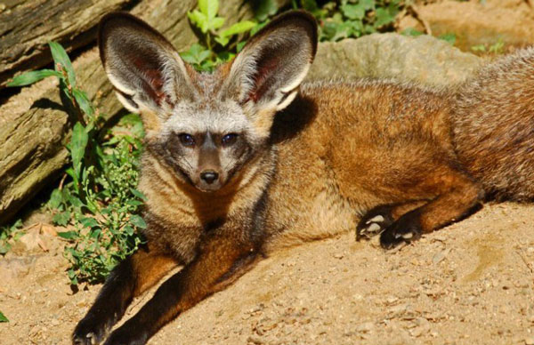 большеухая-лисица