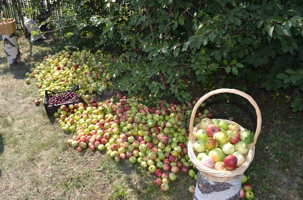 Яблочный-спас1